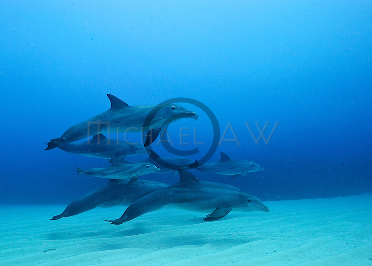 Bahamas, Common dolphins