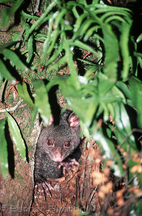 Bobuck or Mountain Brushtail Possum peering out of hollow in a rainforest myrtle tree. Central Highlands, Victoria.