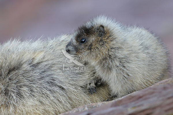 Young Hoary Marmot (Marmota caligata) rest near adult, Glacier National Park, Montana.  Summer.