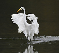 Courtesy photo/TERRY STANFILL<br /> EGRET DANCE<br /> An egret shows graceful moves while wading in mid September at Swepco Lake west of Gentry.