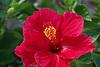 red Hibiskus flower<br /> <br /> flor de Hibiskus rojo<br /> <br /> rote Hibiskusbl&uuml;te<br /> <br /> 3008 x 2000 px<br /> 150 dpi: 50,94 x 33,87 cm<br /> 300 dpi: 25,47 x 16,93 cm