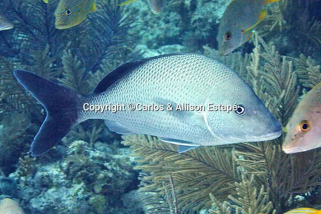 Haemulon album, White margate, Florida Keys