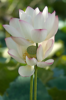 Two white lotus flowers opening