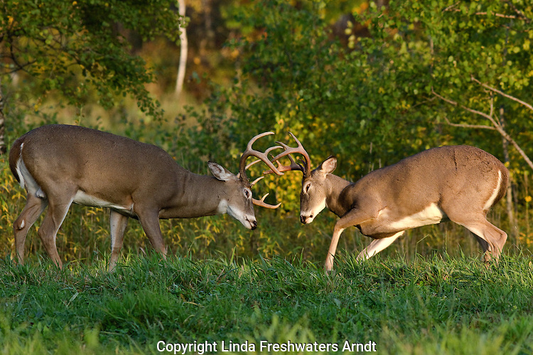 White-tailed bucks sparring in northern Wisconsin.
