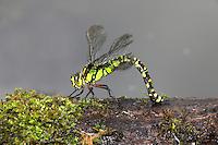 Southern Hawker Dragonfly Aeshna cyanea egg laying.