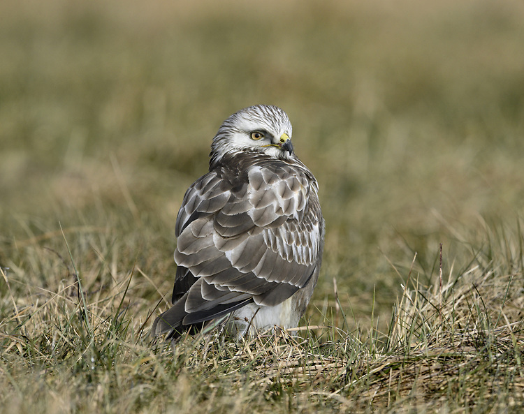 Rough-legged Buzzard - Buteo lagopus