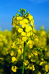 AF5CP8 Oil seed rape yellow flowers against blue sky