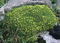 CYPHEL Minuartia sedoides (Caryophyllaceae)<br /> Distinctive, cushion-forming perennial of damp, stony ground on mountain tops. FLOWERS are yellow, 4mm across and lack petals (Jun-Aug). FRUITS are capsules. LEAVES are narrow, fleshy and densely packed. STATUS-Restricted to mountains in the Scottish Highlands and a few Scottish islands.