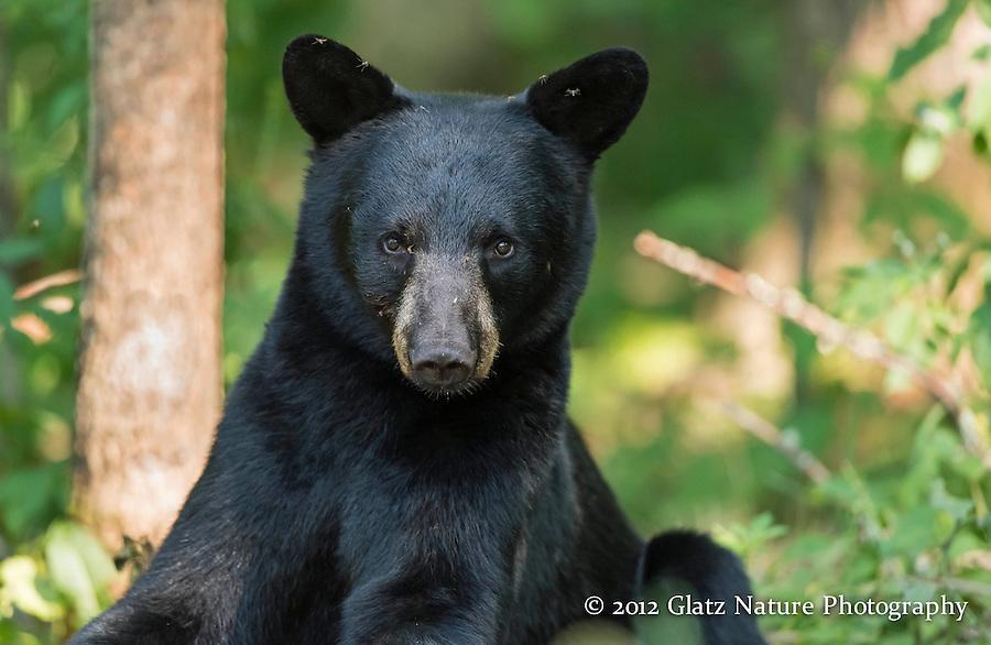 Black Bear cub (Ursus americanus) pauses to look back at the photographers, Northern Minnesota.