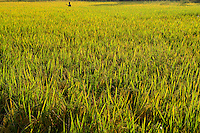 NEPAL, Terai, Tandi, the Terai is the grain basket of the country, rice farming, rice field / NEPAL, Terai, Tandi, das Terai ist die Kornkammer Nepals, Reisfelder