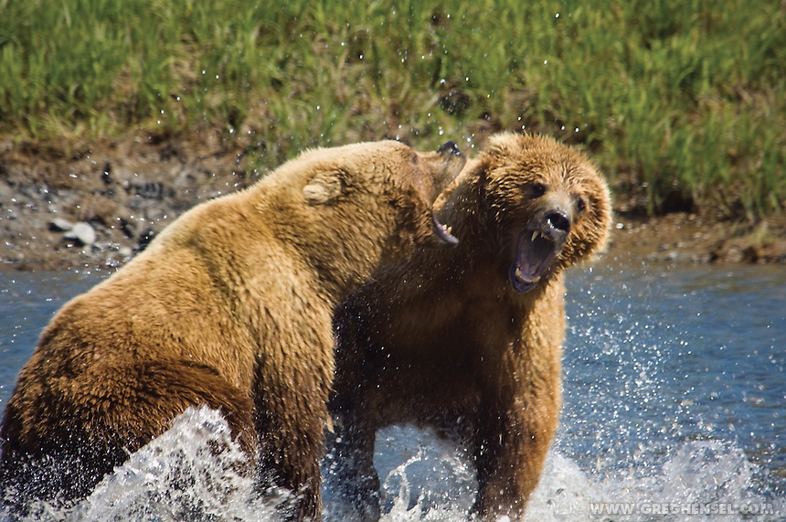 Two Grizzly Bears fight over Salmon at Mikfik Creek. McNeil River Brown Bear Sanctuary. Summer in Southwest Alaska.