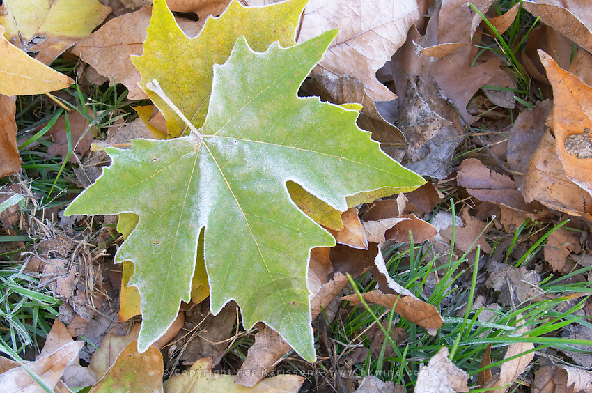 A green maple leaf with frost on grass that is also frosty an early cold autumn morning. Ferme de Biorne duck and fowl farm Dordogne France