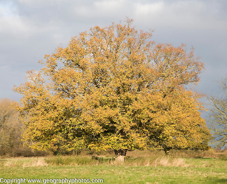 Autumn colours of leaves of Common Lime tree standing alone in field, Sutton, Suffolk, England