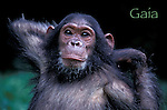 4 year old Gaia stretches her arms behind head solicting grooming from her mother.<br /> Female Eastern Chimpanzee (Pan troglodytes schweinfurthii)<br /> Gombe National Park, Tanzania, East Africa   1997