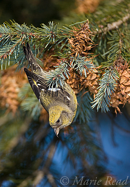 White-winged Crossbill (Loxia leucoptera), female feeding on Douglas-Fir cone, Ithaca, New York, USA