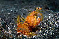 Mantis shrimp lying on its back in the Lembeh Strait / Indonesia