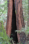 coast redwood with burned interior