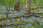Great Smoky Mountains National Park, Tennessee: Wild blue phlox (Phlox divaricata) blooming under a forest understory