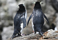 Snares Crested Penguins, Snares Islands, Antarctica
