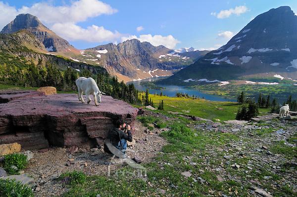 Mountain Goat (Oreamnos americanus) and photographer.  Glacier National Park, Montana.  Summer.