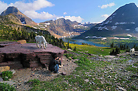 Mountain Goat (Oreamnos americanus) and photographer.  Glacier National Park, Montana.  Summer.