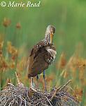 Limpkin (Aramus guarauna), preening its wing feathers (standing on disused anhinga nest on palm stump) Viera Wetlands, Florida, USA