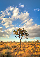 Lone Joshua Tree and Clouds - Joshua Tree National Park, CA<br /> All rights reserved.