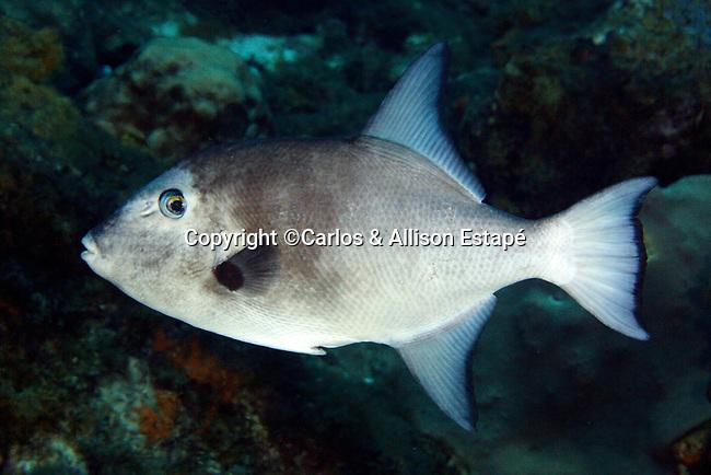 Canthidermis sufflamen, Ocean triggerfish, Flower Garden Banks
