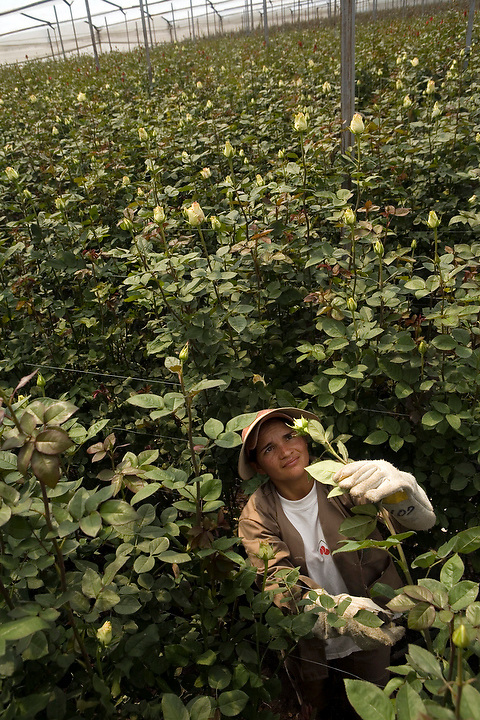 BOGOTA, COLOMBIA -- JANUARY 21: A worker inspects a rose before harvest in a huge greenhouse at Alpes Flowers  on January 21, 2007. ..(Photo by Dennis Drenner/Aurora).
