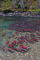 A large school of Sockeye Salmon (Oncorhynchus nerka) resting in a side channel during the Adams River Sockeye Salmon Run in British Columbia, Canada.
