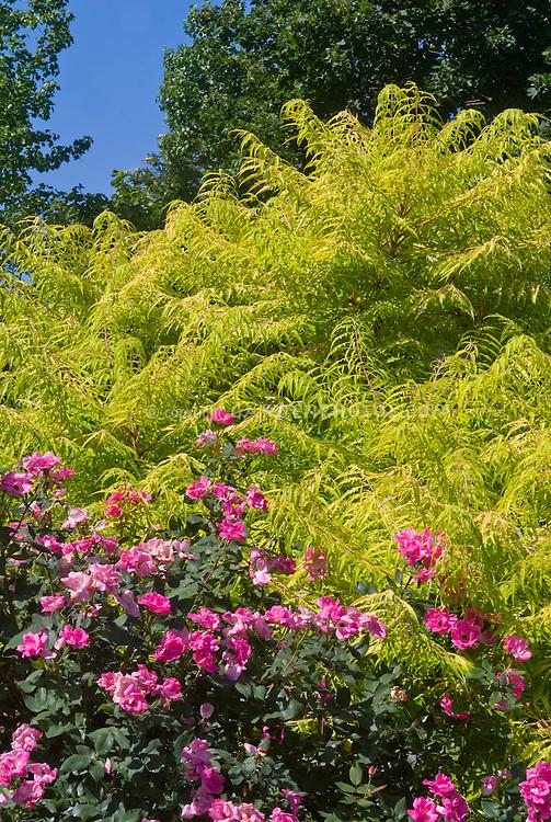 Rhus typhina 'Bailiger' aka 'Tiger Eyes' Staghorn Sumac shrub with golden yellow cutleaf foliage and Rosa 'Pink Knockout' rose aka 'Radcon' . Mutation of Rhus typhina 'Laciniata'