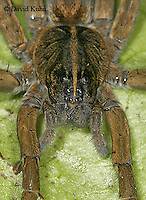 1022-06zz  Fishing Spiders Details - Nursery Web Spider - Dolomedes spp. - © David Kuhn/Dwight Kuhn Photography