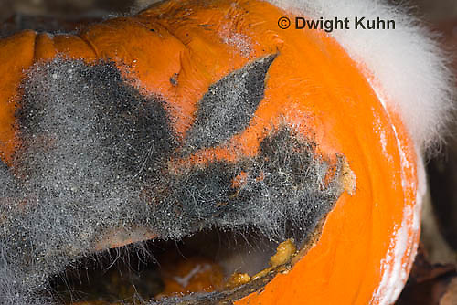 DC09-661z   Bread Mold growing on Pumpkin Jack-o-Lantern,Rhizopus stolonifer