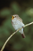 Grauschnäpper, Grau-Schnäpper, Muscicapa striata, spotted flycatcher