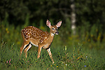 White-tailed fawn in a summer field