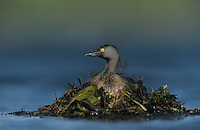 Least Grebe, Tachybaptus dominicus,adult on nest, Willacy County, Rio Grande Valley, Texas, USA, May 2004