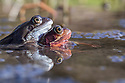 Amplectant pair of Common Frogs {Rana temporaria} in a mating ball amongst mass of spawn in a pond. Peak District National Park, Derbyshire, UK. March.