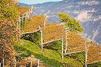 Italy, Alto Adige - Trentino (South Tyrol), Cortaccia sulla strada del vino: vineyard | Italien, Suedtirol, Kurtatsch an der Weinstrasse: Weinberg (Detail)