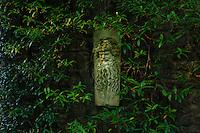 France, Manche (50), Vauville, Jardin botanique du château de Vauville, faux jasmin (Trachelospermum jasminoides) contre le pigeonnier et tête barbue