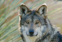 Mexican Wolf or Mexican Gray Wolf (Canis lupus baileyi)--a highly endangered species.  Found only in the desert sothwest (USA) and northern Mexico.