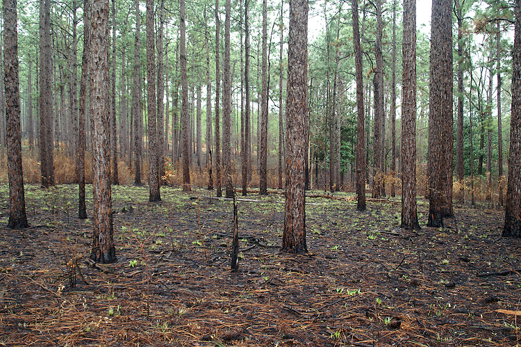 The wiregrass in a long leaf pine community is coming back after a controlled burn, which removed the old growth and younr hardwood trees.
