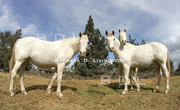White Thoroughbred broodmares Silverado JC (left), Rubiana Lace (right), Arcticanna (peeking over Rubiana Lace). scenic, mood, horse racing, pretty, racehorse, horse, equine, racetrack, track, saratoga