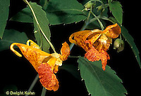 FY14-007z  Orange Jewel Weed - Spotted Touch-Me-Not - Impatiens capensis