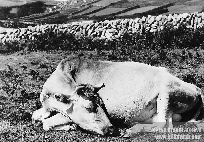 Cow asleep in field