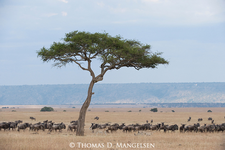Two cheetahs travel the Maasai Mara plain as a herd of blue wildebeest keep a close watch on the cats. Kenya.