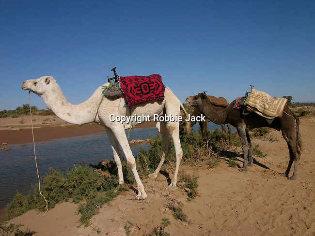 Camels in Zagora in Morocco.