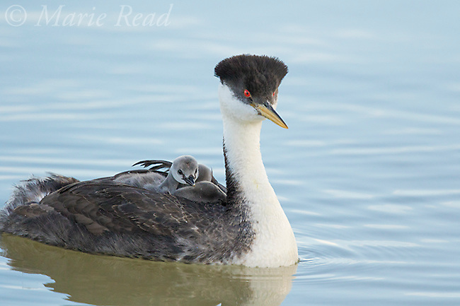 Western Grebe (Aechmophorus occidentalis), closeup of adult swimming with chicks riding on its back, Bear River Migratory Bird Refuge, Utah, USA