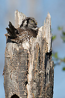 An incubating female Northern Hawk Owl raises her head after seeing her mate arriving with prey.