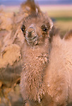 Bactrian camel, Great Gobi Protected Area, Mongolia