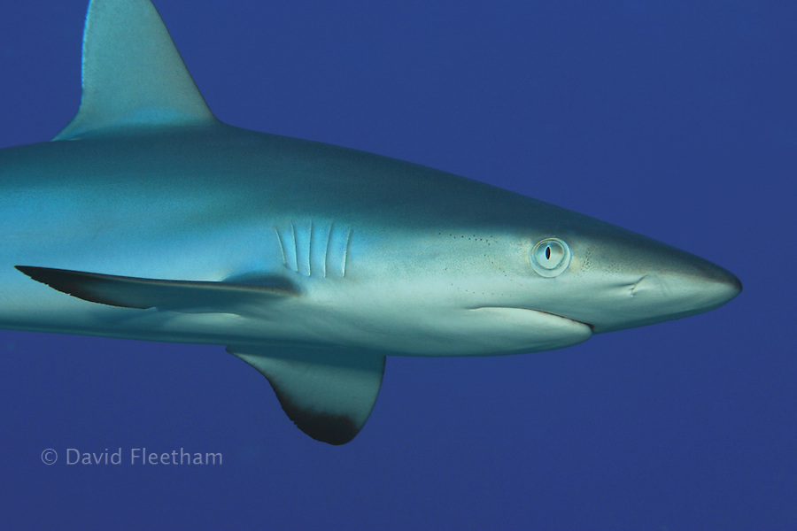 Gray reef sharks, Carcharhinus amblyrhynchos, are the second most common shark on Hawaii's reefs.  Hawaii.